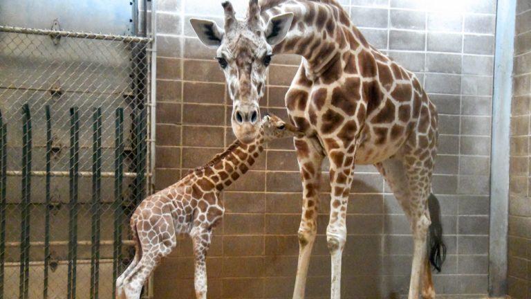 Endangered giraffe calf born at Oklahoma City Zoo Friday